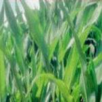 BASF wymarzniecia zboz i rzepaku 2016 150x150 Tunele foliowe niezbędne w ogrodzie