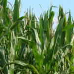 Kukurydza 150x150 Oprysk na kukurydzę  kiedy się go wykonuje?
