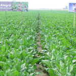 Syngenta raport plonowania 2015 150x150 Oprysk na kukurydzę  kiedy się go wykonuje?