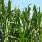 000 kukurydza na kiszonke 150x150 Tunele foliowe niezbędne w ogrodzie