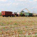 IS DSCF7005.JPG 150x150 W suszy też się można zakopać! Ursusy i Claas Jaguar 880 w kukurydzy   FOTO