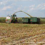 IS DSCF7031.JPG 150x150 W suszy też się można zakopać! Ursusy i Claas Jaguar 880 w kukurydzy   FOTO