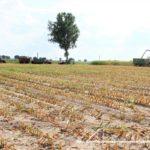 IS DSCF7045 2.JPG 150x150 W suszy też się można zakopać! Ursusy i Claas Jaguar 880 w kukurydzy   FOTO