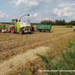 IS DSCF7051.JPG 150x150 W suszy też się można zakopać! Ursusy i Claas Jaguar 880 w kukurydzy   FOTO