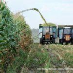 IS DSCF7062 2.JPG 150x150 W suszy też się można zakopać! Ursusy i Claas Jaguar 880 w kukurydzy   FOTO