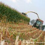 IS DSCF7118.JPG 150x150 Jelenie w kukurydzy, na czele z sieczkarnią John Deere 7380i   FOTO