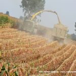 IS DSCF7125 2.JPG 150x150 Jelenie w kukurydzy, na czele z sieczkarnią John Deere 7380i   FOTO