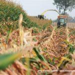 IS DSCF7166 2.JPG 150x150 Jelenie w kukurydzy, na czele z sieczkarnią John Deere 7380i   FOTO