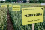 ogrod chorob fot Ryszard  Wszolek 11 150x100 Ogród chorób roślin zbożowych    Unikatowa kolekcja stworzona przez UTP w Bydgoszczy