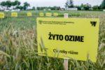 ogrod chorob fot Ryszard  Wszolek 13 150x100 Ogród chorób roślin zbożowych    Unikatowa kolekcja stworzona przez UTP w Bydgoszczy