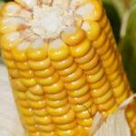 Kukurydza 2 150x150 Największe targi rolnicze Agritechnica 2021 przełożone na nowy termin