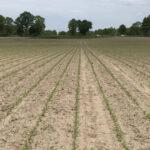 CLAAS 365FarmNet rolnictwo precyzyjne siew kukurydzy 150x150 CLAAS i Agrinavia wprowadzają moduł wymiany danych dotyczących plonów